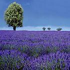 Flowers Land , Provance   FRANCE by yoshiaki nagashima