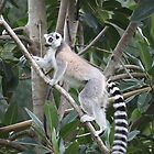Ring Tailed Lemur by Redpopy