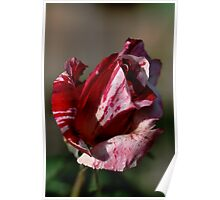 Going to bloom - Two Tone Rose Poster