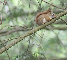 Little Red Squirrel by Margie Avellino