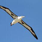 Gliding Laysan Albatross by Gina Ruttle  (Whalegeek)