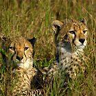 cheetah cubs by Richard Shakenovsky
