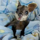 baby wallaby by eagleyeimages