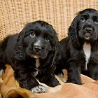 Beautiful Black Cocker Spaniel Puppies by eagleyeimages