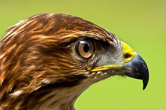 Buzzard Profile by Geoff Carpenter