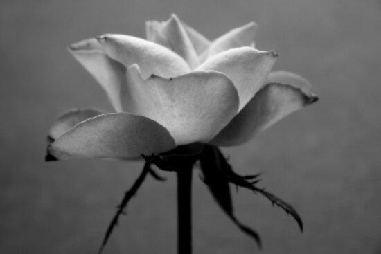 Rose by SpiralPrints