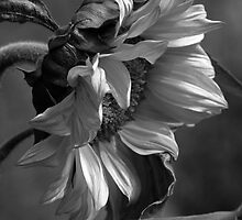 sunflower, in black and white by Iris Mackenzie