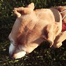 Beagle by amaniacadored