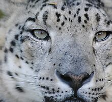 Snow Leopard by BeckyMP