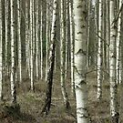 Birches by Anders Lidholm