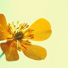 Buttercup ~ Butterfly by Tamara Brandy