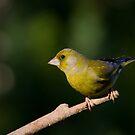 Finch on a Stick by Janika