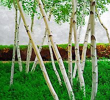 A Grove of Birches 3 by Tom  Reynen