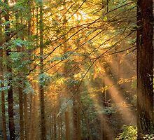 Sun Ray through Redwoods by Soumya Mitra