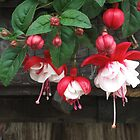 Red Fuchsia by Christine Wilson