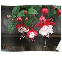 Red Fuchsia Poster
