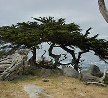 Along 17 Mile Drive, California by Melissa Ferrer