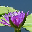 Dragonfly on Lily by elsha