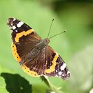 Red Admiral by Robert Abraham