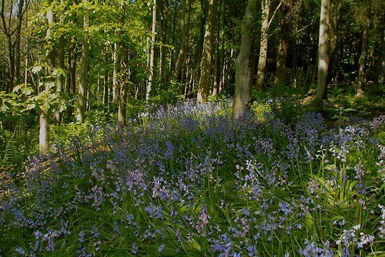 Patch of Bluebells by Scott  Andrew