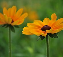 Black-Eyed Susan by mnkreations