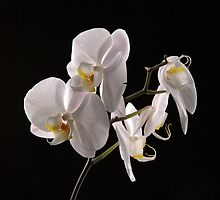 white orchid by purpleminx