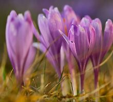 Crocus sativus . no.2. by Brown Sugar . Views (318)  favorited by (1) Thanks ! by © Andrzej Goszcz,M.D. Ph.D