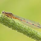 Orange damselfly by AngiNelson