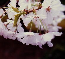 close up of cherry tree blossoms,Japanese tea garden by califpoppy1621