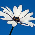 Daisy in the sky by Sangeeta