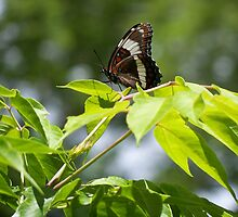 A White Admiral by Margarite