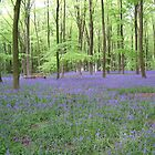 Bluebells, Micheldever Wood, Hampshire, 2005 by lizjames