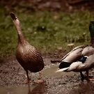 Mr and Mrs Puddle Duck by Matt Sillence