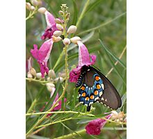 Butterfly ~ Pipevine Swallowtail Photographic Print