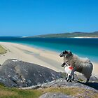 Sheep, Luskentyre, Isle of Harris by 58NorthPhoto