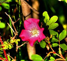 Wild Prairie Rose by Larry Trupp