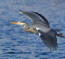 Grey heron Inflight 2 by Alexa Pereira