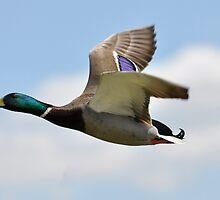 Duck Flight  by Darren Bailey LRPS
