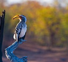 Yellow Billed Hornbill by Neil Messenger