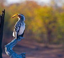 Yellow Billed Hornbill by Neil Messenger
