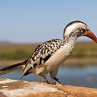 Red Billed Hornbill by Neil Messenger
