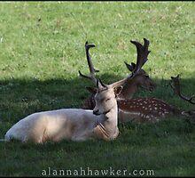 Deer 01 by Alannah Hawker