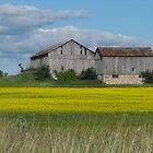 Canola Farm- Scugog Island, Port Perry Ontario Canada by Tracy Faught