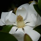 Magnolia Beauty by Jocelyn Hyers