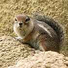 Harris' Antelope Squirrel by Kimberly P-Chadwick