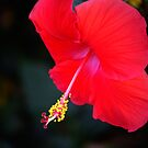 Red Hibiscus by Stormygirl