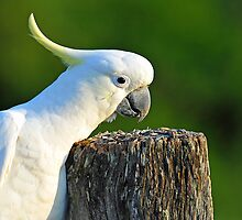 Sulphur  Crested Cockatoo, Brisbane, Queensland, Australia by Ralph de Zilva