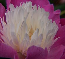 pink and white peony at kingwood center by 1busymom