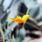 California Poppy by Jacquelyne Drainville
