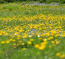 buttercups and forgetme nots by blueandwhite80